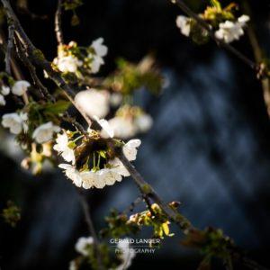 20170409-Kuernach-Pflanzen-©-Gerald-Langer_12_IMG_2150