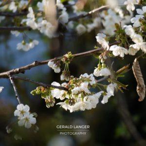 20170409-Kuernach-Pflanzen-©-Gerald-Langer_8_IMG_2146
