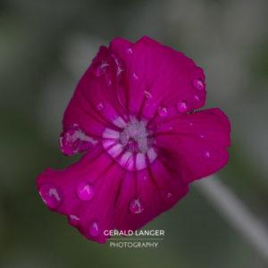 20170605-Pflanzen-nach-Regen-Kuernach-©-Gerald-Langer_12_IMG_7704