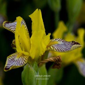 20170605-Pflanzen-nach-Regen-Kuernach-©-Gerald-Langer_23_IMG_7715
