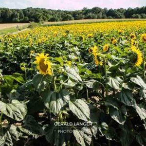 20170718-Sonnenblumen-Waigolshausen-Schwanfeld-©-Gerald-Langer_10_IMG_2320