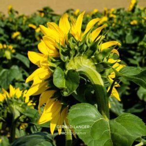 20170718-Sonnenblumen-Waigolshausen-Schwanfeld-©-Gerald-Langer_13_IMG_2323