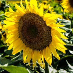 20170718-Sonnenblumen-Waigolshausen-Schwanfeld-©-Gerald-Langer_15_IMG_2325