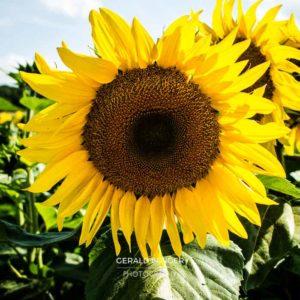20170718-Sonnenblumen-Waigolshausen-Schwanfeld-©-Gerald-Langer_18_IMG_2328