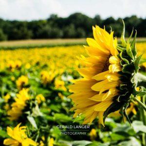 20170718-Sonnenblumen-Waigolshausen-Schwanfeld-©-Gerald-Langer_22_IMG_2332