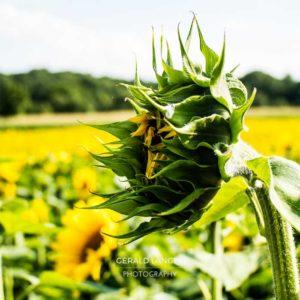 20170718-Sonnenblumen-Waigolshausen-Schwanfeld-©-Gerald-Langer_25_IMG_2335
