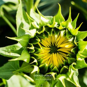 20170718-Sonnenblumen-Waigolshausen-Schwanfeld-©-Gerald-Langer_26_IMG_2336