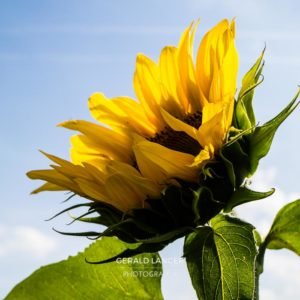 20170718-Sonnenblumen-Waigolshausen-Schwanfeld-©-Gerald-Langer_29_IMG_2339