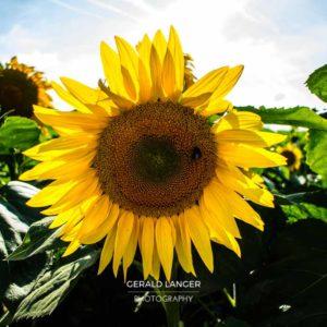 20170718-Sonnenblumen-Waigolshausen-Schwanfeld-©-Gerald-Langer_2_IMG_2312