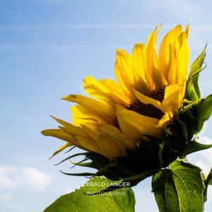20170718-Sonnenblumen-Waigolshausen-Schwanfeld-©-Gerald-Langer_30_IMG_2340