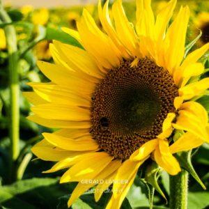 20170718-Sonnenblumen-Waigolshausen-Schwanfeld-©-Gerald-Langer_31_IMG_2341