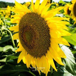 20170718-Sonnenblumen-Waigolshausen-Schwanfeld-©-Gerald-Langer_32_IMG_2342