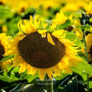 20170718-Sonnenblumen-Waigolshausen-Schwanfeld-©-Gerald-Langer_34_IMG_2344