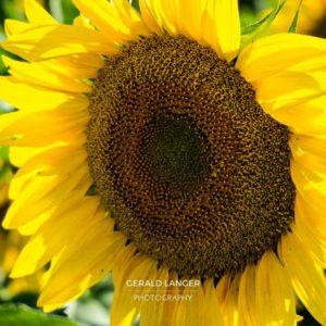 20170718-Sonnenblumen-Waigolshausen-Schwanfeld-©-Gerald-Langer_36_IMG_2346
