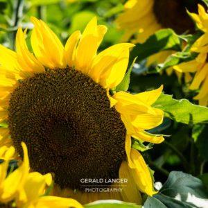 20170718-Sonnenblumen-Waigolshausen-Schwanfeld-©-Gerald-Langer_37_IMG_2347