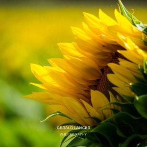 20170718-Sonnenblumen-Waigolshausen-Schwanfeld-©-Gerald-Langer_39_IMG_2349