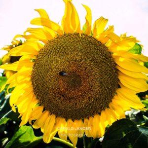 20170718-Sonnenblumen-Waigolshausen-Schwanfeld-©-Gerald-Langer_3_IMG_2313