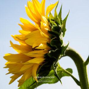 20170718-Sonnenblumen-Waigolshausen-Schwanfeld-©-Gerald-Langer_42_IMG_2352