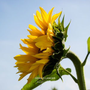 20170718-Sonnenblumen-Waigolshausen-Schwanfeld-©-Gerald-Langer_43_IMG_2353