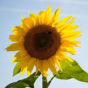 20170718-Sonnenblumen-Waigolshausen-Schwanfeld-©-Gerald-Langer_46_IMG_2356