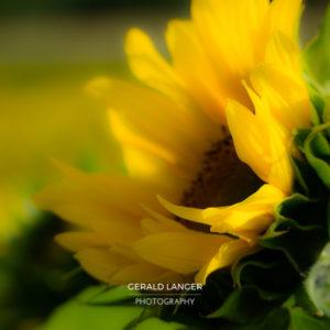 20170718-Sonnenblumen-Waigolshausen-Schwanfeld-©-Gerald-Langer_48_IMG_2358