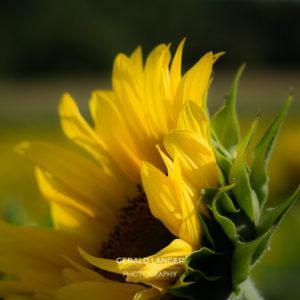 20170718-Sonnenblumen-Waigolshausen-Schwanfeld-©-Gerald-Langer_49_IMG_2359