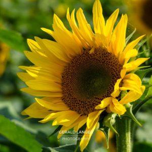 20170718-Sonnenblumen-Waigolshausen-Schwanfeld-©-Gerald-Langer_50_IMG_2360