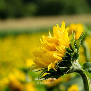 20170718-Sonnenblumen-Waigolshausen-Schwanfeld-©-Gerald-Langer_51_IMG_2361