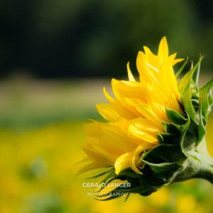 20170718-Sonnenblumen-Waigolshausen-Schwanfeld-©-Gerald-Langer_52_IMG_2362