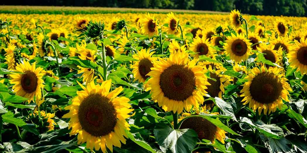 20170718-Sonnenblumen-Waigolshausen-Schwanfeld-©-Gerald-Langer_54_IMG_2364-2