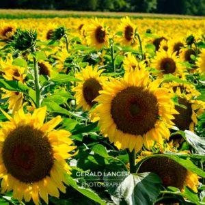 20170718-Sonnenblumen-Waigolshausen-Schwanfeld-©-Gerald-Langer_54_IMG_2364