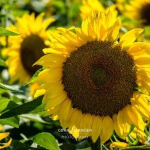 20170718-Sonnenblumen-Waigolshausen-Schwanfeld-©-Gerald-Langer_55_IMG_2365