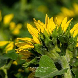 20170718-Sonnenblumen-Waigolshausen-Schwanfeld-©-Gerald-Langer_56_IMG_2366
