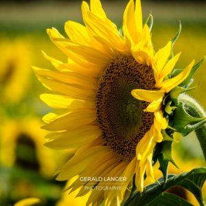 20170718-Sonnenblumen-Waigolshausen-Schwanfeld-©-Gerald-Langer_60_IMG_2370