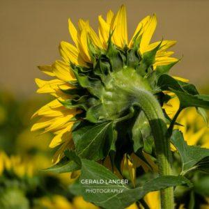 20170718-Sonnenblumen-Waigolshausen-Schwanfeld-©-Gerald-Langer_61_IMG_2371