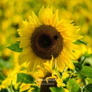 20170718-Sonnenblumen-Waigolshausen-Schwanfeld-©-Gerald-Langer_65_IMG_2375
