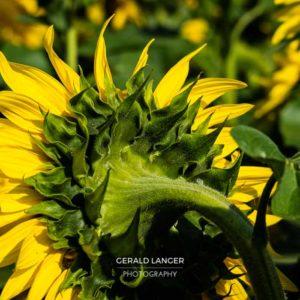 20170718-Sonnenblumen-Waigolshausen-Schwanfeld-©-Gerald-Langer_67_IMG_2377