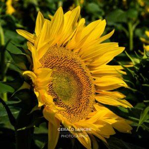20170718-Sonnenblumen-Waigolshausen-Schwanfeld-©-Gerald-Langer_68_IMG_2378