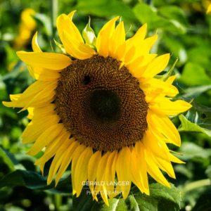 20170718-Sonnenblumen-Waigolshausen-Schwanfeld-©-Gerald-Langer_69_IMG_2379