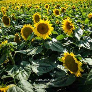 20170718-Sonnenblumen-Waigolshausen-Schwanfeld-©-Gerald-Langer_8_IMG_2318