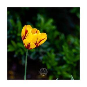 20190429_Tulpen_Garten_Kuernach-©-Gerald-Langer_15