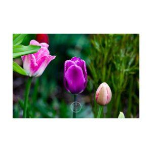 20190429_Tulpen_Garten_Kuernach-©-Gerald-Langer_6